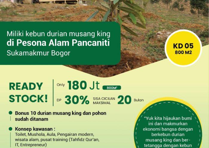 kebun durian musang king di perkebunan terpadu pesona alam pancaniti bogor