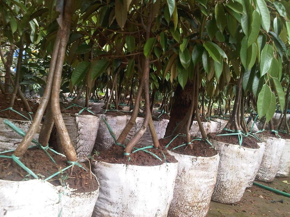 jual bibit pohon durian musang king kaki tiga