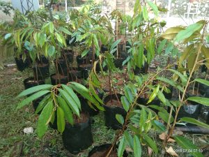 jual bibit durian musang king kaki tiga