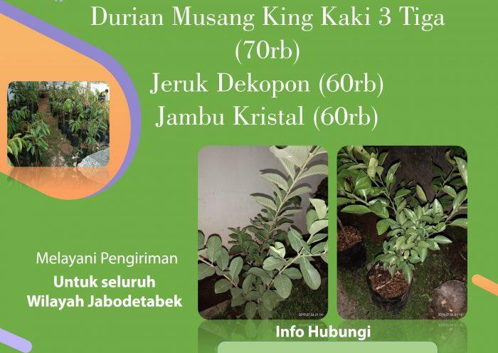 jual bibit durian musang king, jeruk dekopon, dan jambu kristal