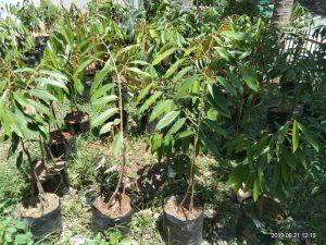 bibit unggul durian musang king
