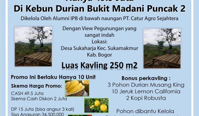kebun durian musang king bukit madani puncak 2 sukamakmur