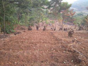 perapihan kavling kebun durian musang king bukit madani