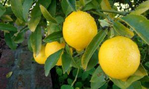 jeruk lemon california bonus di bukit madani