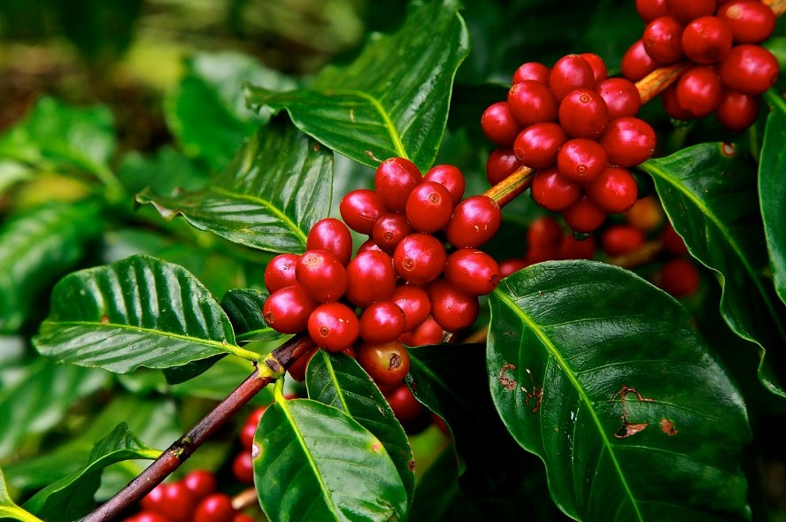 kopi robusta bonus pohon di bukit madani