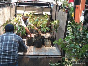 pengiriman bibit unggul durian musang king ke bogor