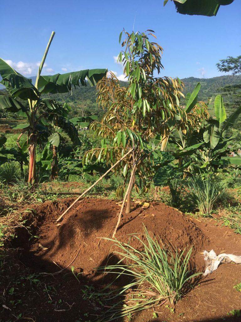 realisasi penanaman pohon durian musang king setinggi 2 meter di lahan kavliing bu rusti di pesona bukit madani 2