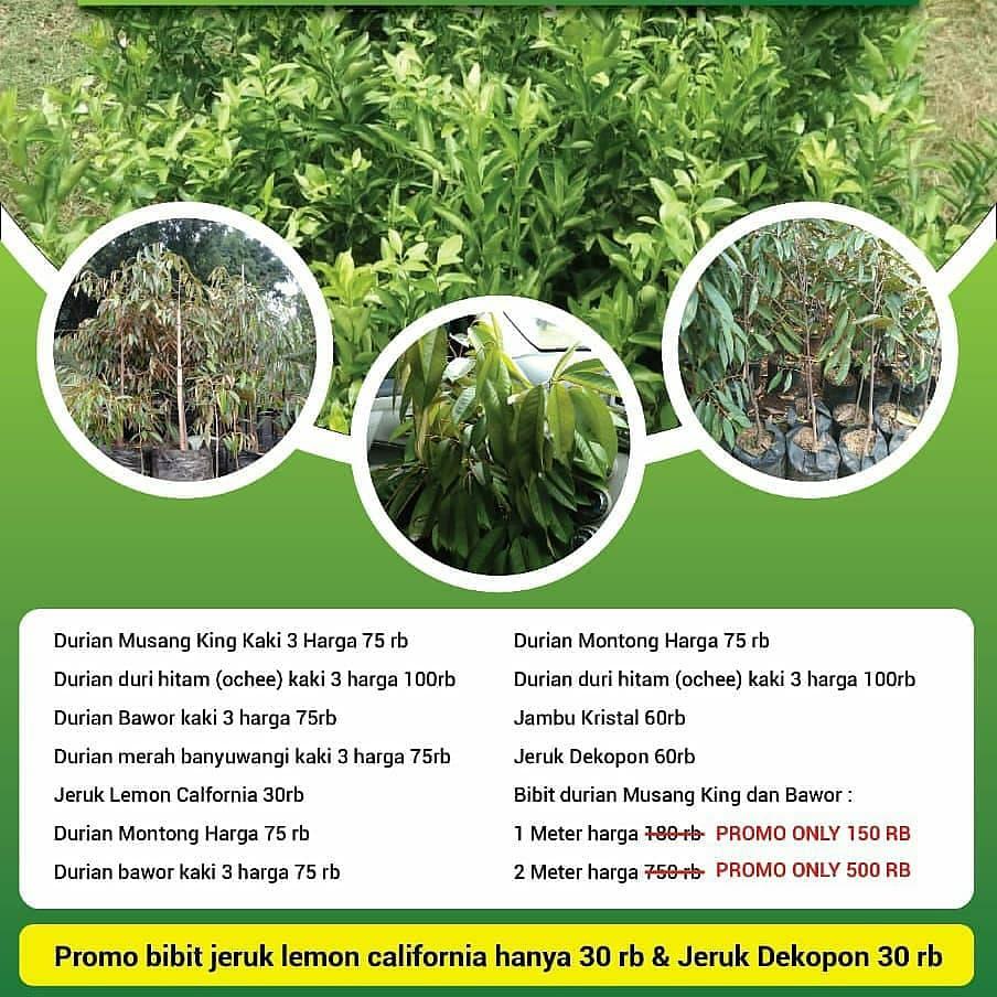 paket harga bibit unggul durian musang king, bawor, monthong, duri hitam, jeruk lemon california, jeruk dekopon