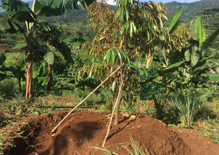 tanaman durian musang king setinggi 2 meter di perkebunan durian pesona bukit madani bogor