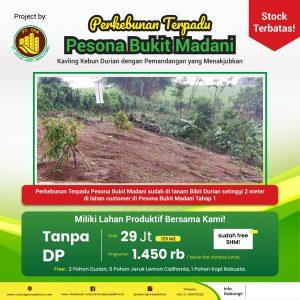 pohon durian setinggi 2 meter yang di tanam di perkebunan durian pesona bukit madani tahap 1