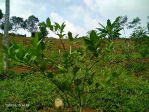 jual kebuun durian di pesona bukit madani puncak dua