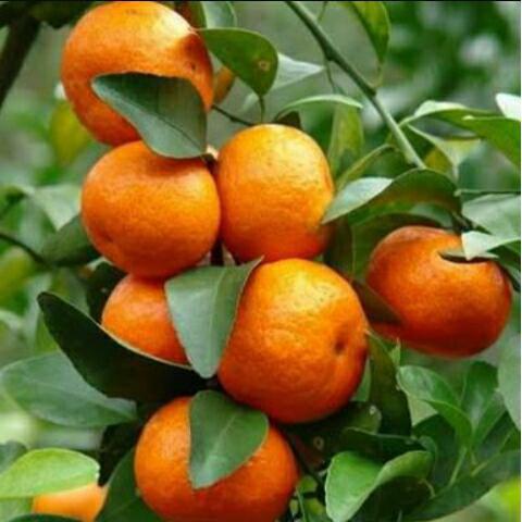 jual bibit jeruk santang madu di bogor