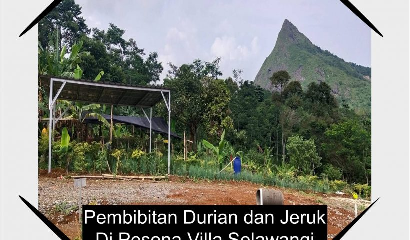 pembibitan durian dan jeruk di cluster pesona villa selawangi