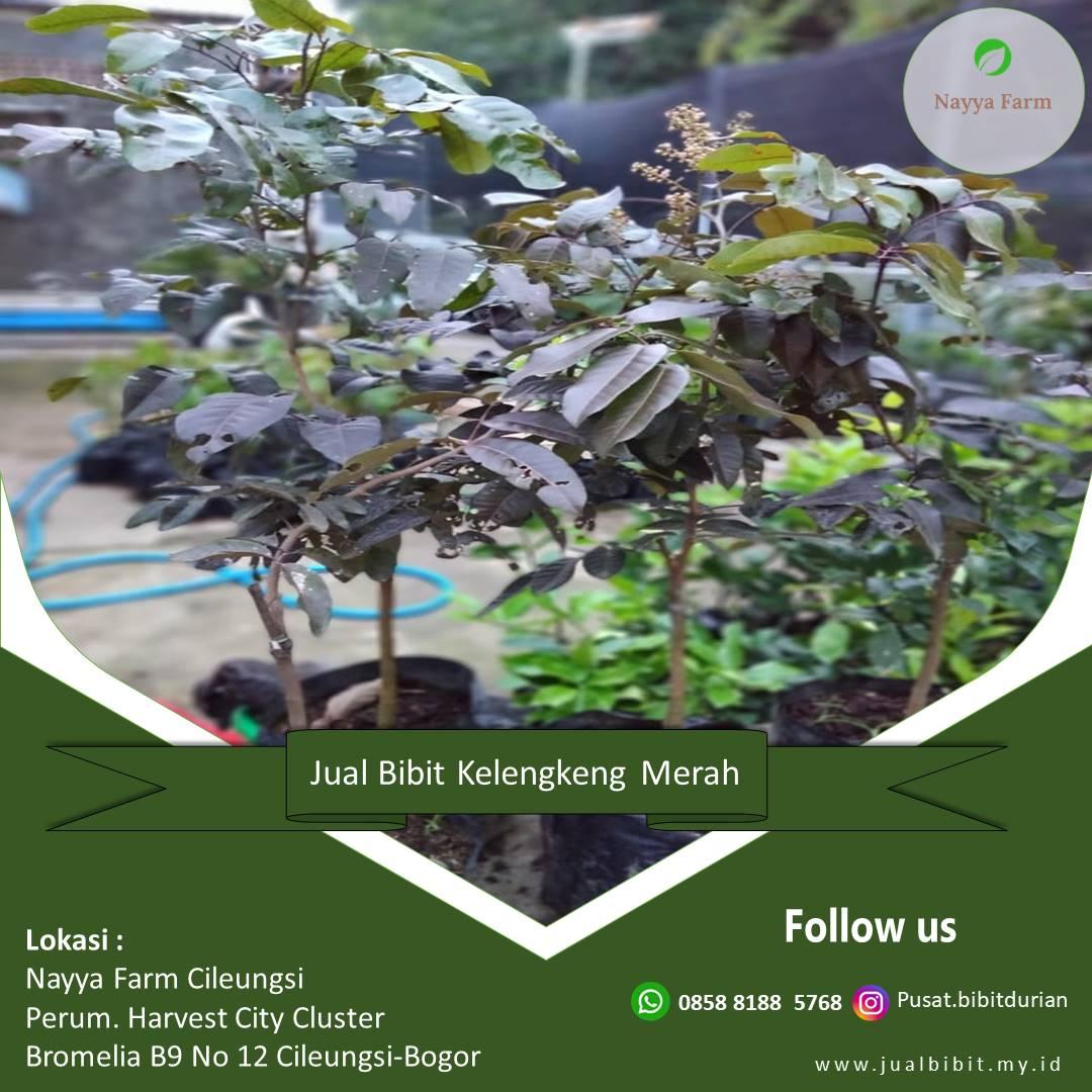 jual bibit buah kelengkeng di Nayya Farm Cileungsi Bogor
