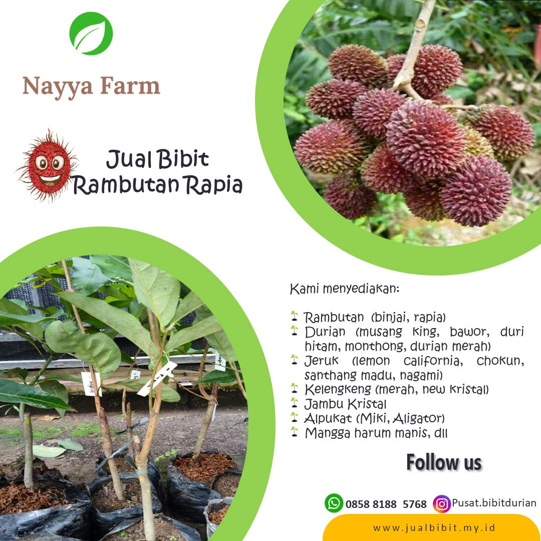 Jual Bibit Buah Rambutan Binjai dan Rapia di Nayya Farm Cileungsi Bogor