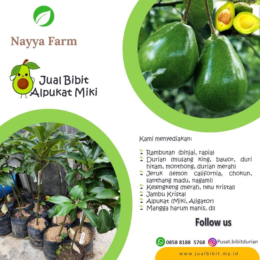 Jual Bibit Buah Alpukat Aligator dan Miki di Nayya Farm Cileungsi Bogor