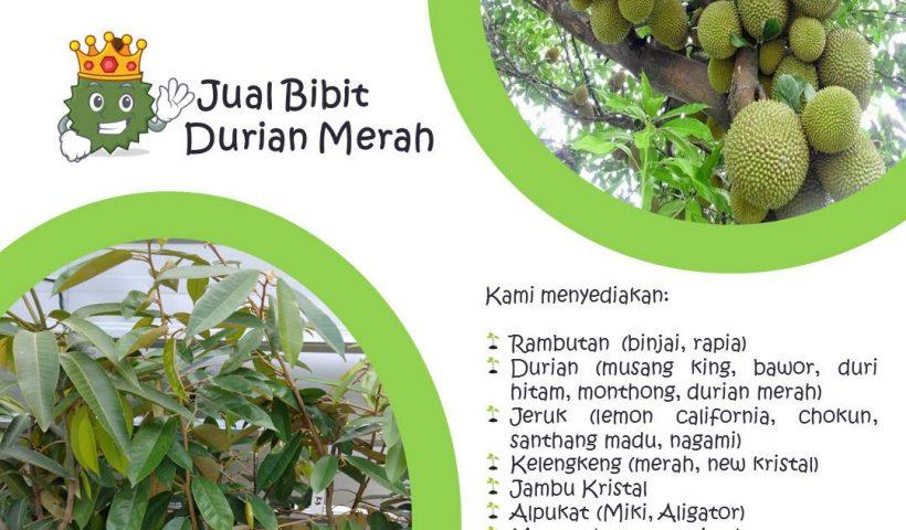 Jual Bibit Buah Musang King, Bawor, Duri Hitam, Montong dan Merah di Nayya Farm Cileungsi Bogor
