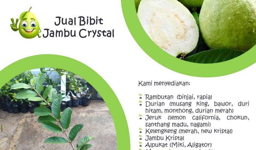 Jual Bibit Buah Jambu Crystal di Nayya Farm Cileungsi Bogor