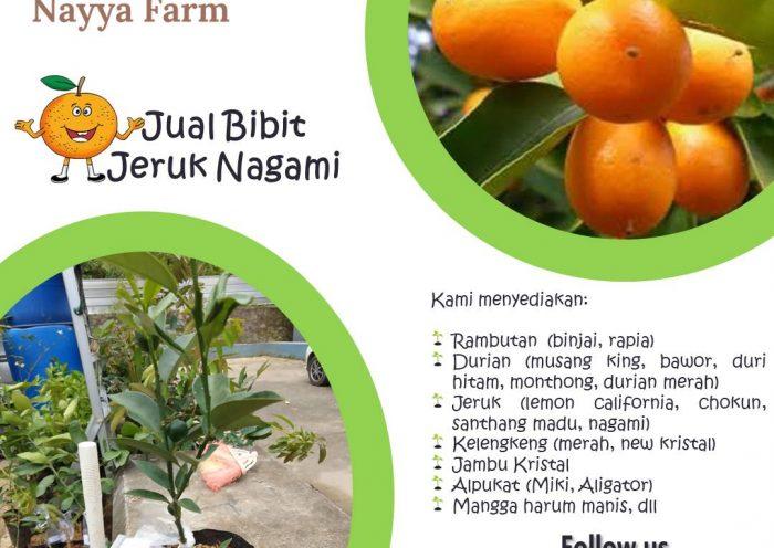 Jual Bibit Buah Jeruk Santang Madu, Lemon California, Chokun Madu, dan Nagami di Nayya Farm Cileungsi - Bogor