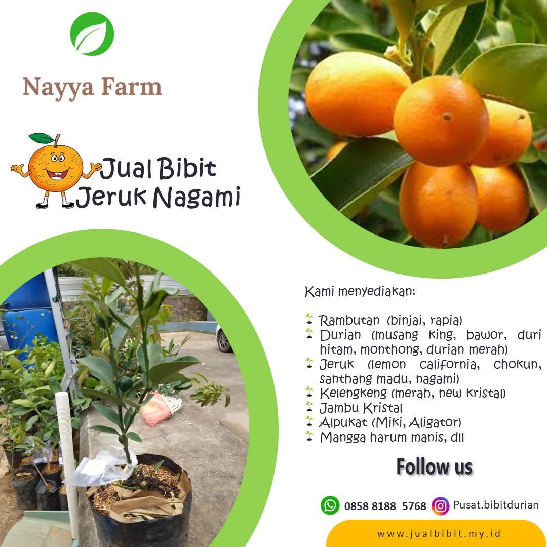 Jual Bibit Jeruk Nagami di Nayya Farm Cileungsi Bogor
