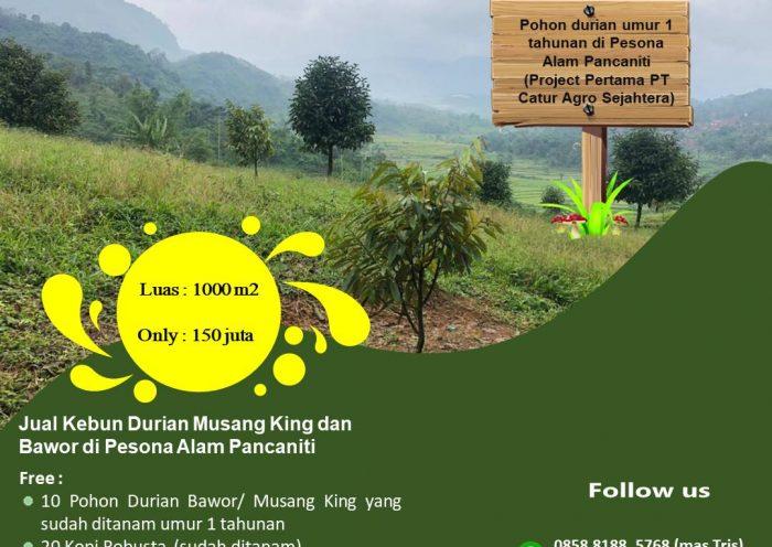jual kebun durian musang king dan bawor di Pesona Alam Pancaniti
